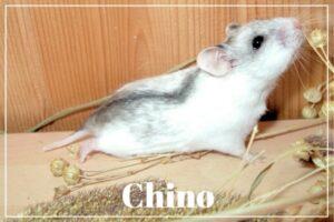 Hamster Chino