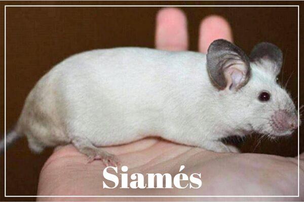 Hamster Siames