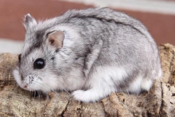 Hámster gris