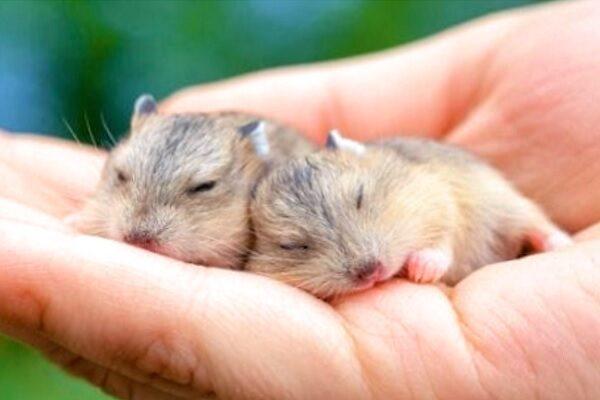 Hámsters recién nacidos