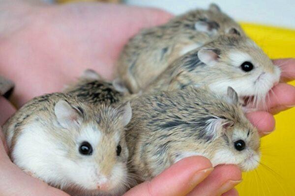 hamster roborovski cuidados