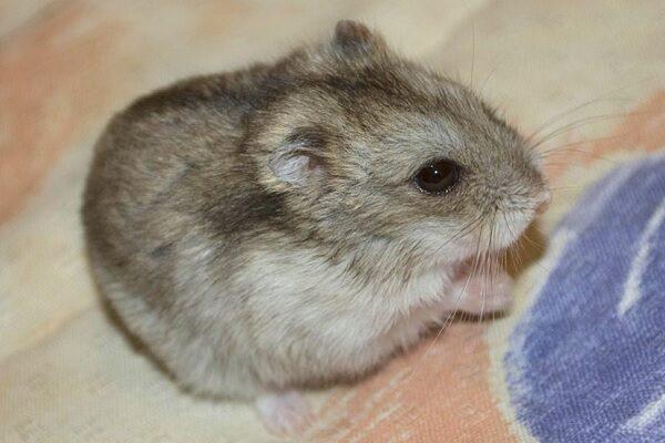hamsteres chinos