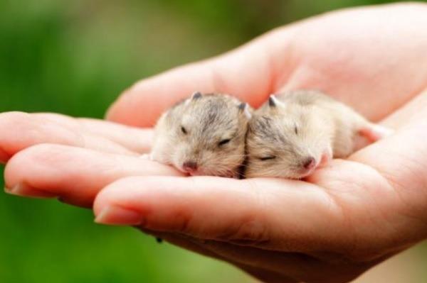 hamster hibernando o muerto